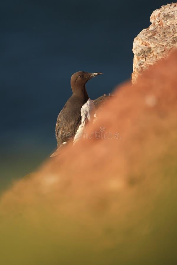 Aalge d'Uria La nature sauvage de la Mer du Nord Un oiseau sur une roche au-dessus de la mer photographie stock
