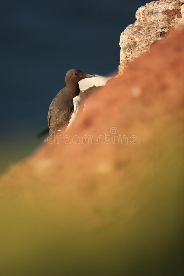 Aalge d'Uria La nature sauvage de la Mer du Nord Un oiseau sur une roche au-dessus de la mer image libre de droits
