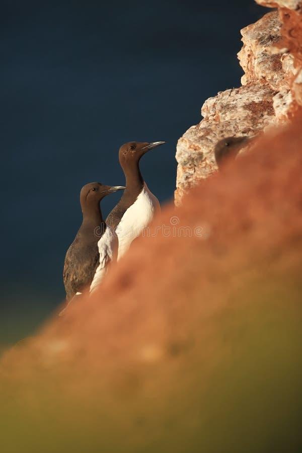 Aalge d'Uria La nature sauvage de la Mer du Nord Un oiseau sur une roche au-dessus de la mer photographie stock libre de droits
