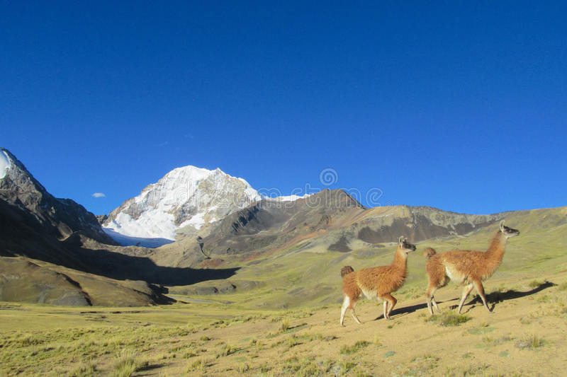 Aalpacas near snowcapped mountain. Llama and alpaca animal in South America. Aalpaca standing on stones in the Andes near snowcapped mountain royalty free stock photo