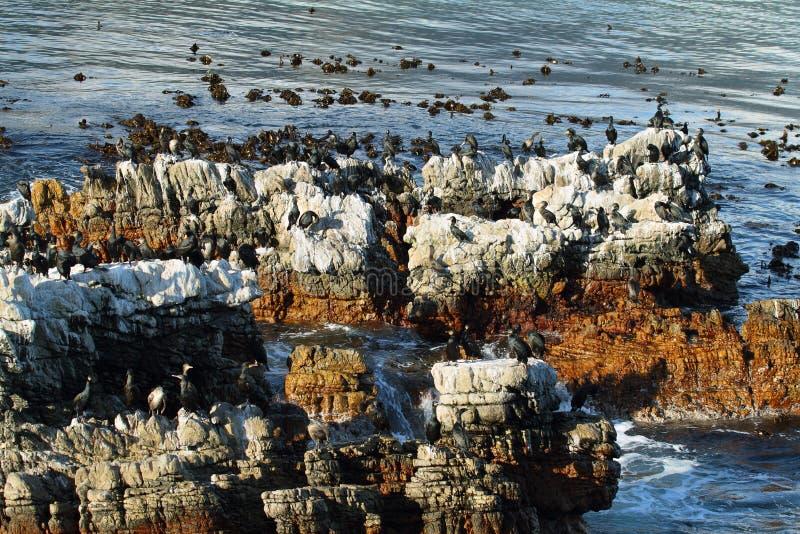 Aalscholver in de baai van Betty stock afbeelding