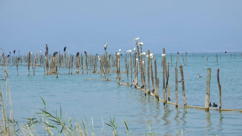 Aalscholver en zeemeeuwrust op meer stock foto