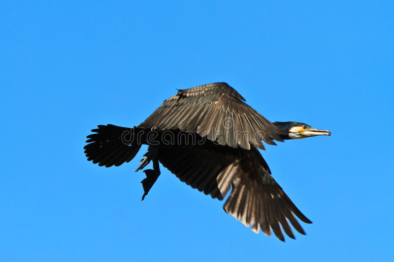 Aalscholver (phalacrocorax carbo) stock afbeelding