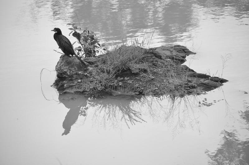 Aalscholver - watervogel royalty-vrije stock afbeelding