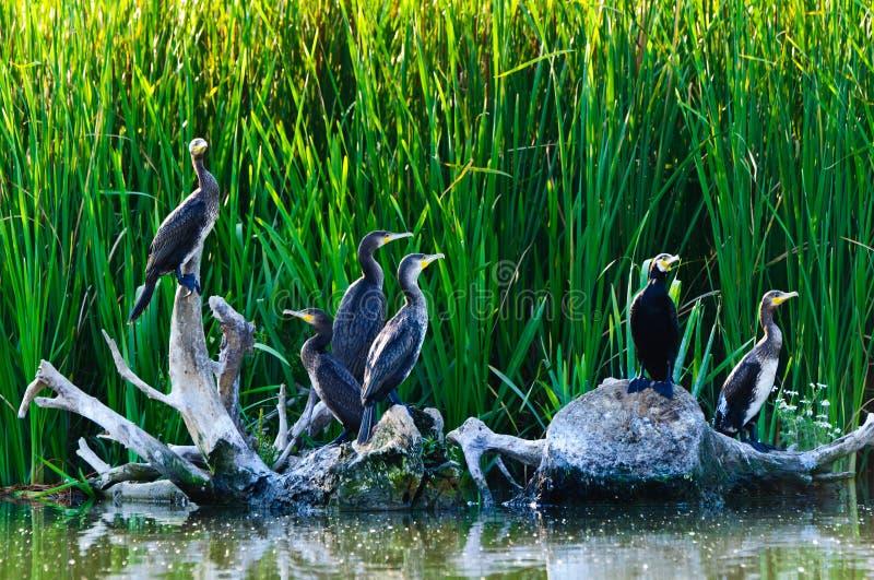 Aalscholvers in de Donau delta royalty-vrije stock foto