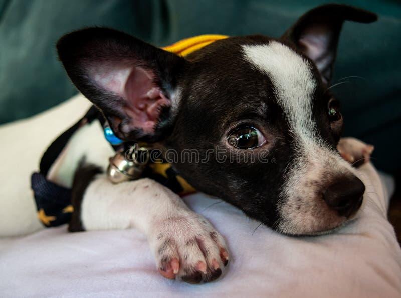 Aanbiddelijk bepaalt weinig puppy, Chihuahua-hond met zijn eigenaar in het huis, kijkt cutes stock foto