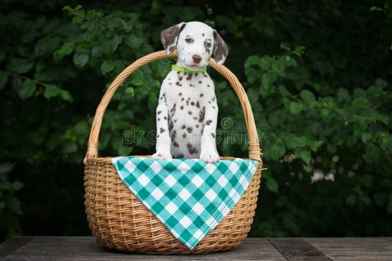 Aanbiddelijk bruin Dalmatisch puppy in een mand royalty-vrije stock fotografie