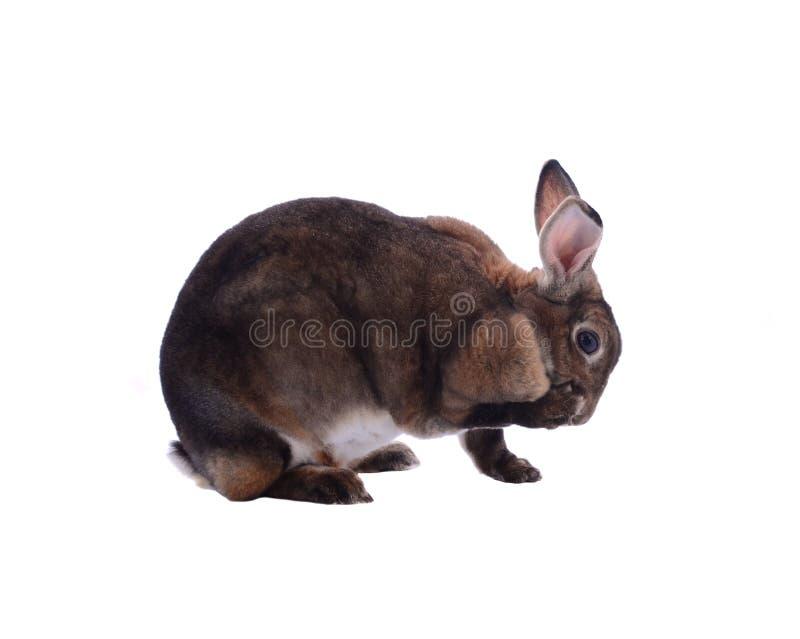 Aanbiddelijk die konijn op een witte achtergrond wordt geïsoleerd royalty-vrije stock fotografie