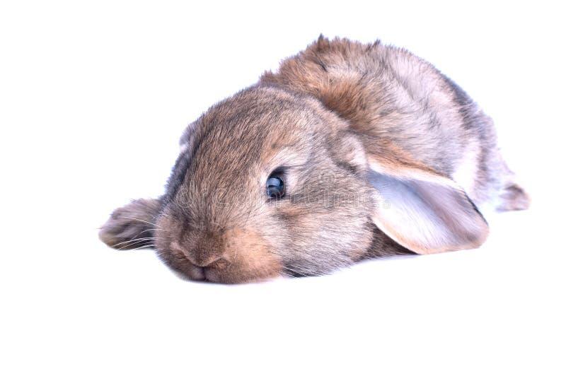 Aanbiddelijk geïsoleerd konijn royalty-vrije stock fotografie