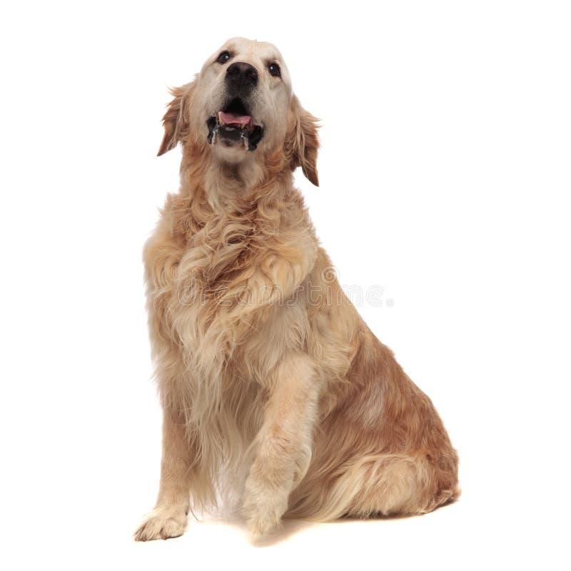 Aanbiddelijk gezet Labrador met blootgestelde tong ziet omhoog eruit stock fotografie