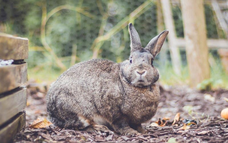 Aanbiddelijk grijs en bruin binnenlands konijntjeskonijn in tuin, het uitstekende plaatsen stock afbeeldingen