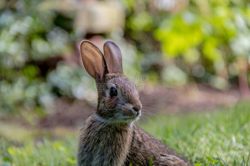 Aanbiddelijk jong Oostelijk Katoenstaartkonijnkonijn in de grastuin royalty-vrije stock fotografie