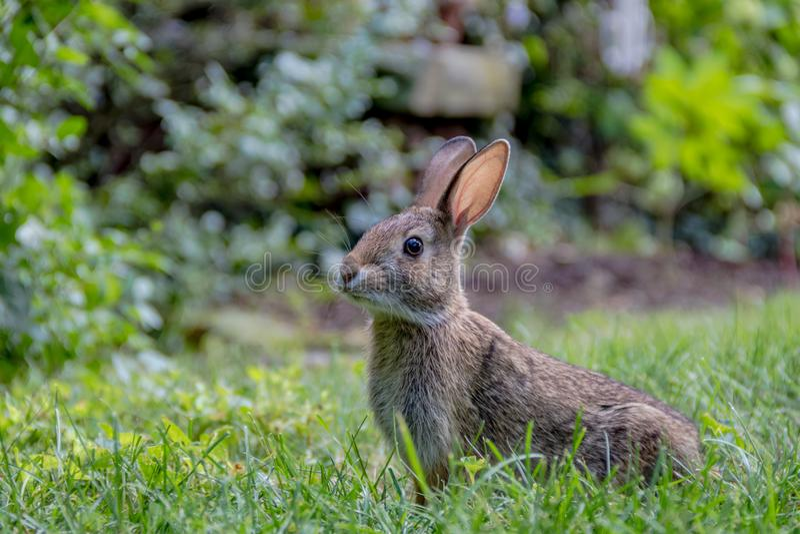 Aanbiddelijk jong Oostelijk Katoenstaartkonijnkonijn in de grastuin stock fotografie