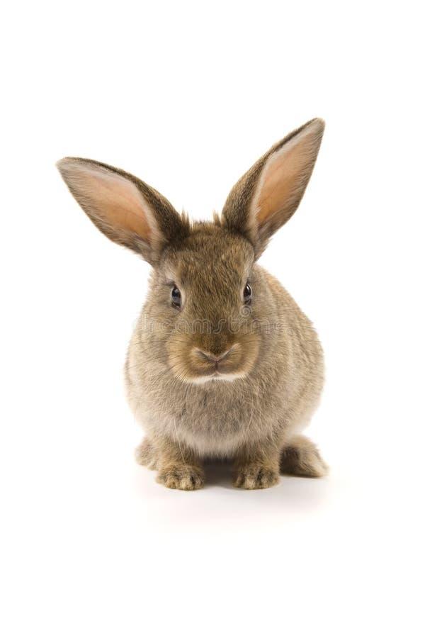 Aanbiddelijk konijn dat op wit wordt geïsoleerd stock afbeelding