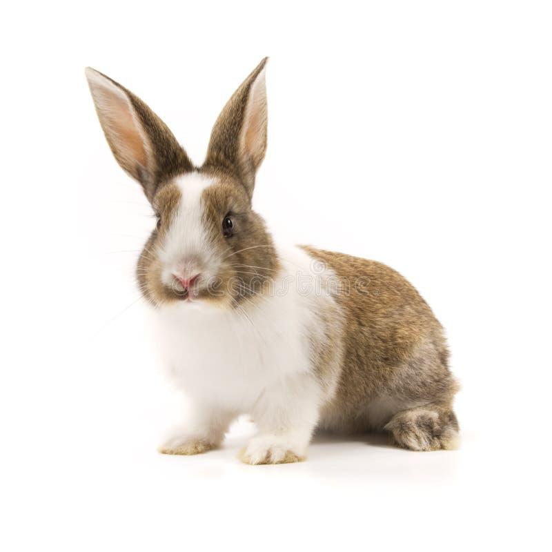 Aanbiddelijk konijn dat op wit wordt geïsoleerd stock foto