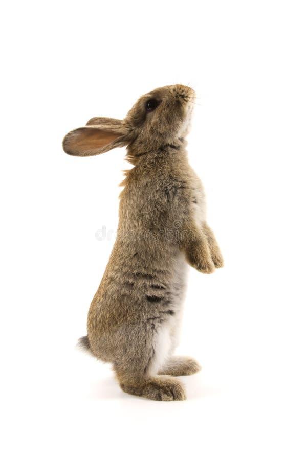 Aanbiddelijk konijn dat op wit wordt geïsoleerd royalty-vrije stock afbeeldingen