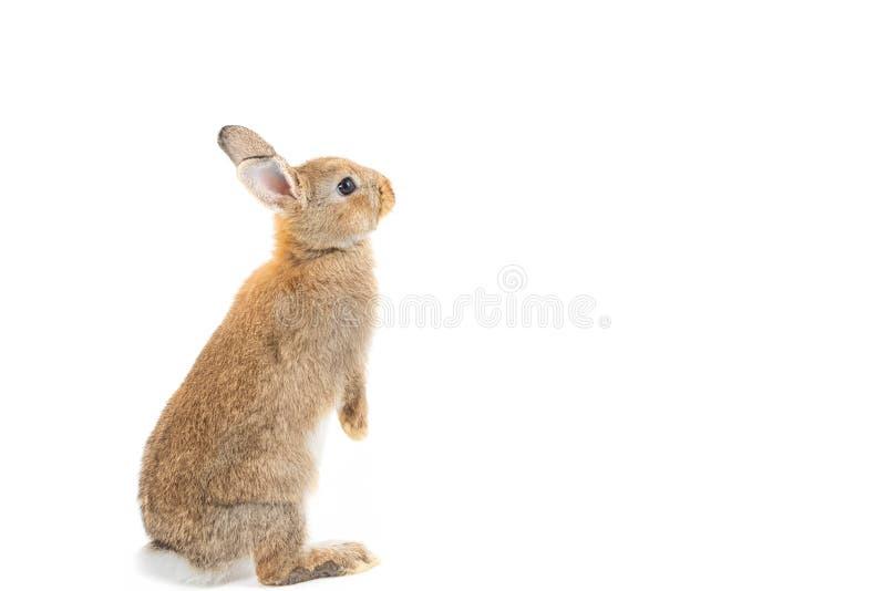 Aanbiddelijk konijn dat op wit wordt geïsoleerdd stock foto's