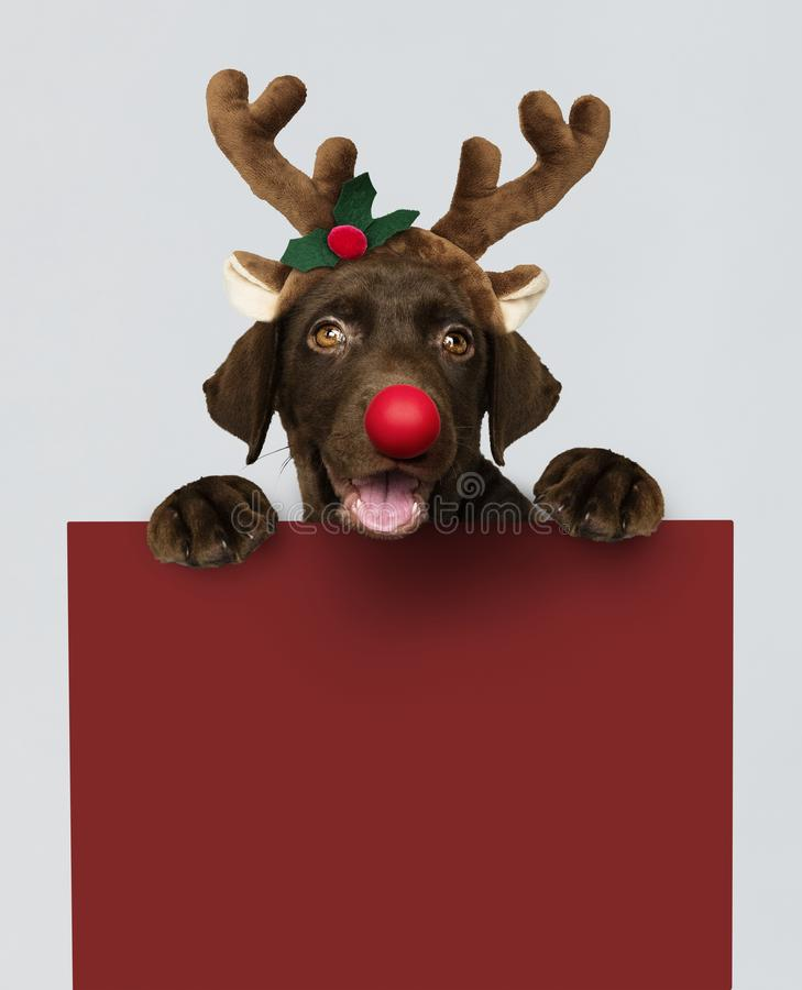 Aanbiddelijk Labradorpuppy die een hoofdband dragen die van het Kerstmisrendier een rood raadsmodel houden stock afbeelding