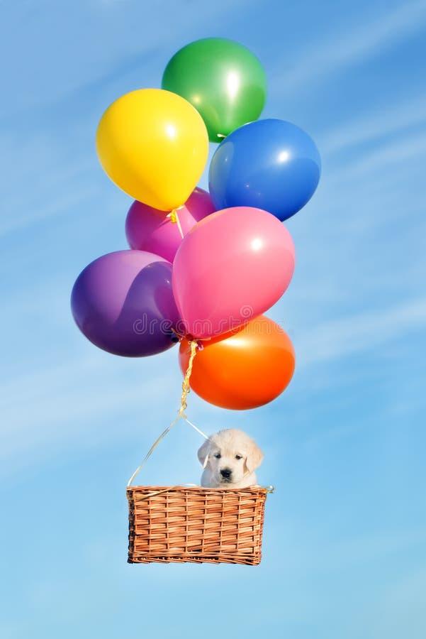 Aanbiddelijk puppy die in een mand met lucht vliegen baloons stock afbeelding