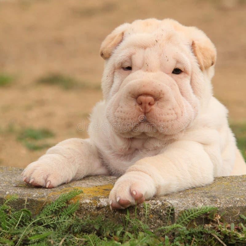 Aanbiddelijk Shar Pei-puppy in de tuin stock foto's