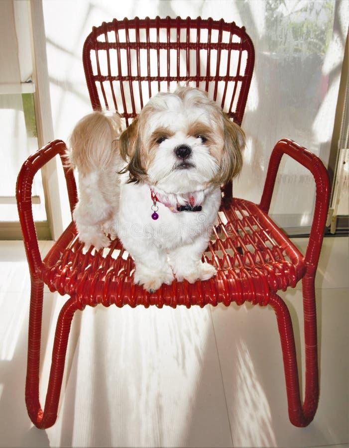 Aanbiddelijk Shih Tzu die zich op rode stoel bevinden royalty-vrije stock afbeeldingen