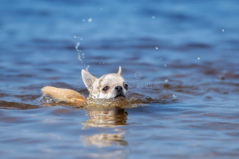 Aanbiddelijke chihuahuahond die in de rivier zwemmen royalty-vrije stock foto