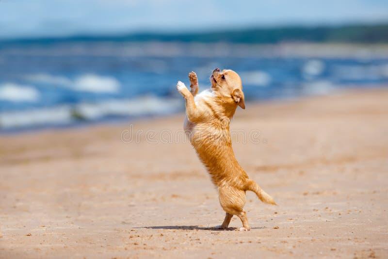 Aanbiddelijke chihuahuahond die op een strand dansen stock foto