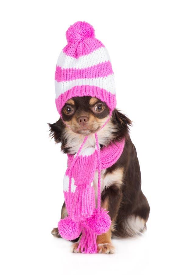 Aanbiddelijke chihuahuahond in een hoed en een sjaal royalty-vrije stock fotografie