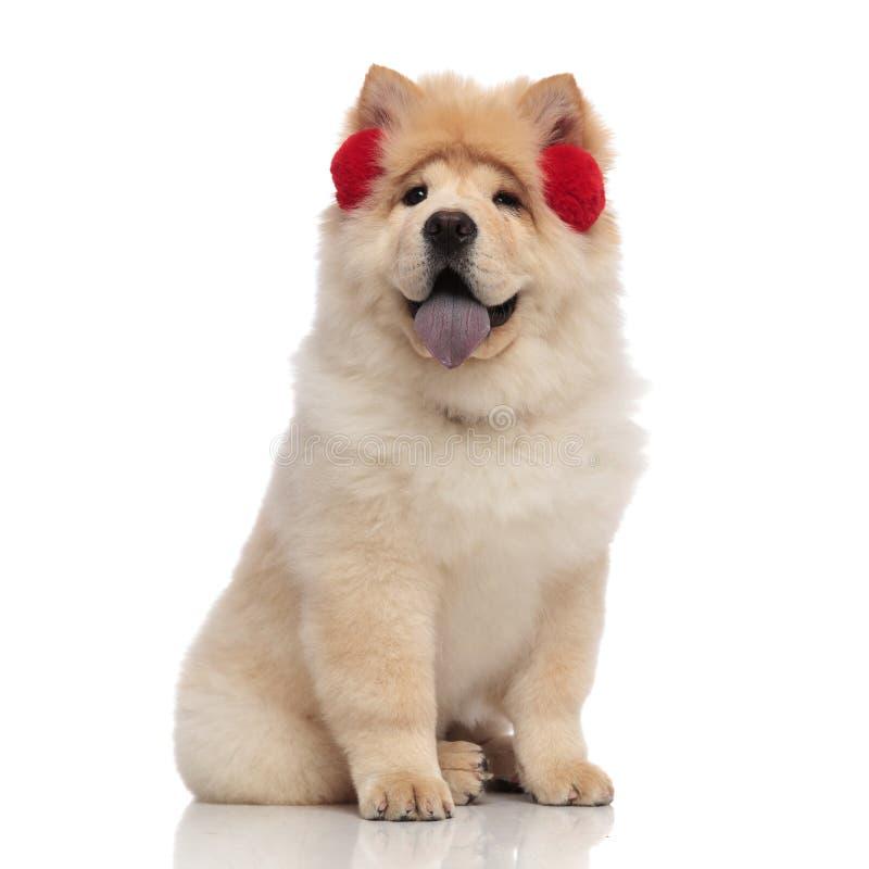 Aanbiddelijke chow-chow die rode de winteroorbeschermers met blootgestelde tong dragen royalty-vrije stock afbeelding