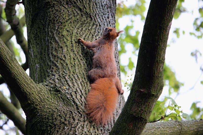 Aanbiddelijke eekhoorn royalty-vrije stock foto