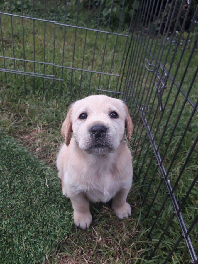 Aanbiddelijke Gele het Puppyzitting van Labrador in het gras royalty-vrije stock afbeelding