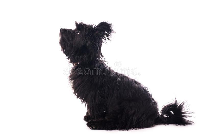 Aanbiddelijke gemengde die rassenhond op wit wordt geïsoleerd royalty-vrije stock afbeeldingen