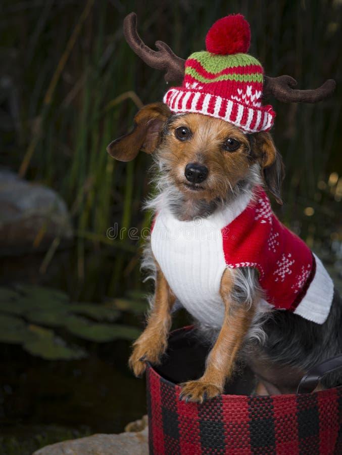 Aanbiddelijke Gemengde Rassenhond in Mand die Rendierhoed dragen stock afbeelding