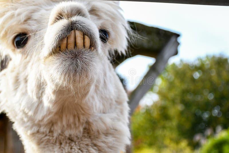 Aanbiddelijke glimlachende leuk uitziende witte lama die met grote voortanden rond binnen een kleine boerderij kijken stock foto's