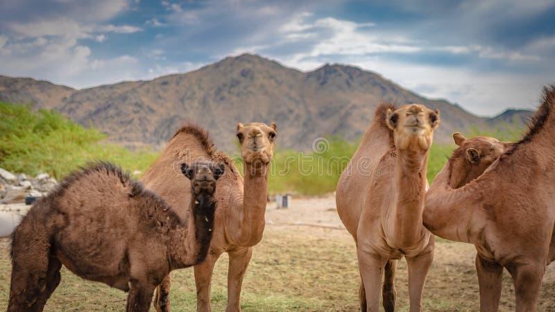 Aanbiddelijke Kameel Live In een Woestijn stock foto
