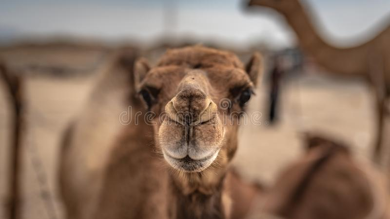 Aanbiddelijke Kameel Live In een Woestijn stock afbeeldingen