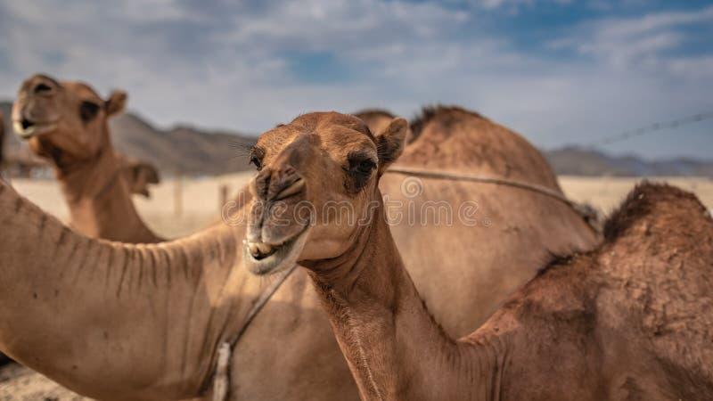 Aanbiddelijke Kameel Live In een Woestijn stock foto's