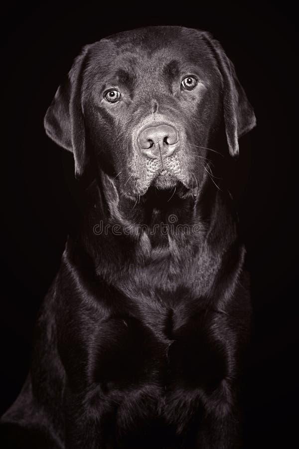 Aanbiddelijke Labrador stock afbeelding