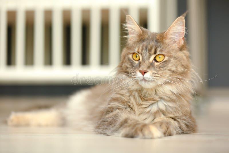 Aanbiddelijke Maine Coon-kat op vloer thuis stock fotografie