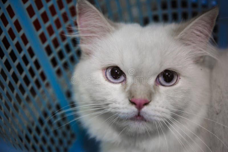 Aanbiddelijke Perzische kat stock afbeelding