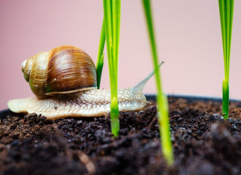 Aanbiddelijke slak dichte omhooggaand Weinig slijm met shell of slak in installatiepot Helend slijm Schoonheidsmiddelen en slaksl stock afbeeldingen