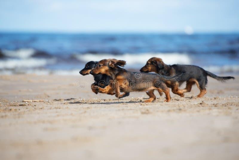 Aanbiddelijke tekkelpuppy die op het strand lopen royalty-vrije stock afbeeldingen