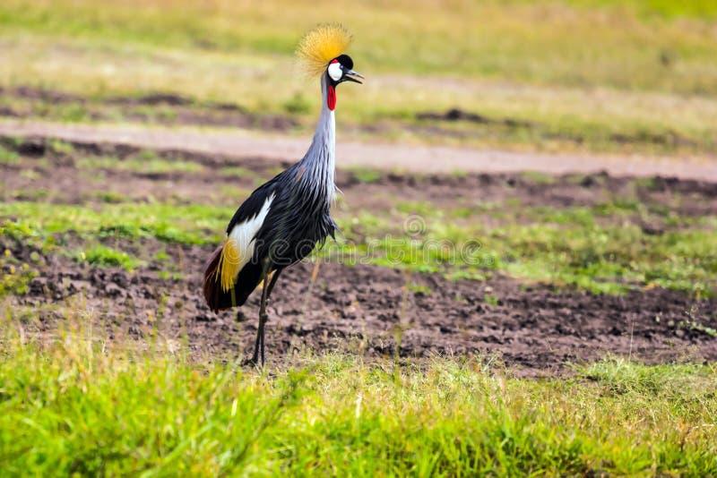 Aanbiddelijke vogel Bekroond Kraan royalty-vrije stock afbeelding