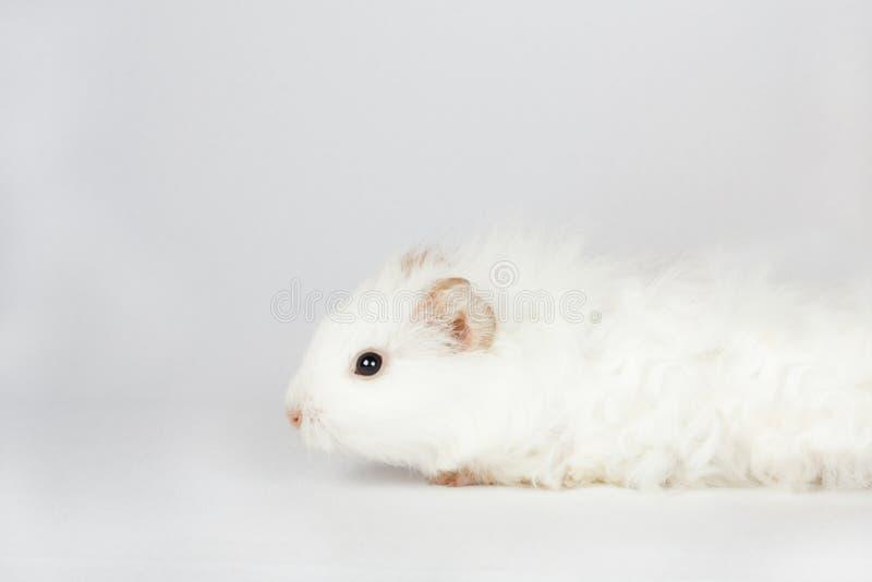 Aanbiddelijke witte die proefkonijnalbino op witte achtergrond wordt geïsoleerd stock fotografie