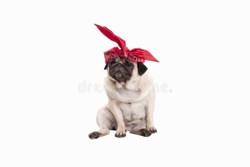 Aanbiddelijke zittingspug puppyhond met rode westelijke die sjaal op hoofd, op witte achtergrond wordt geïsoleerd royalty-vrije stock afbeeldingen