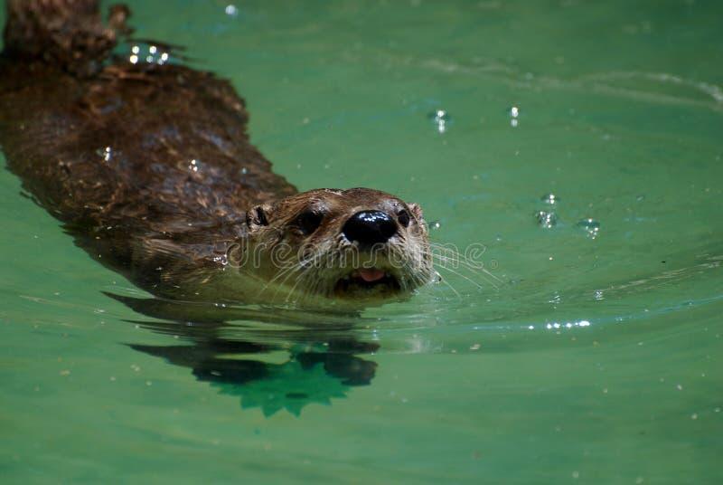 Aanbiddelijke Zwemmende Rivierotter die Zijn Hoofd plakken uit het Water royalty-vrije stock afbeeldingen