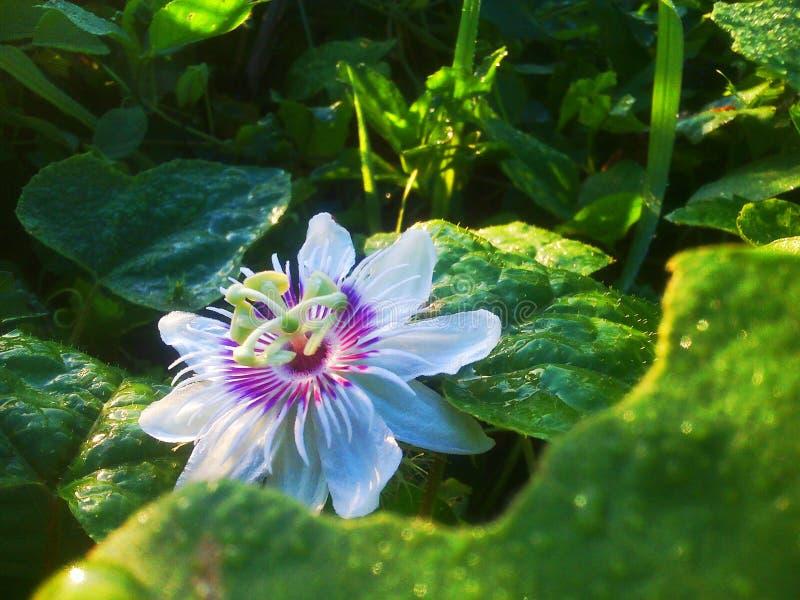 Aangezien het bloeit stock afbeelding