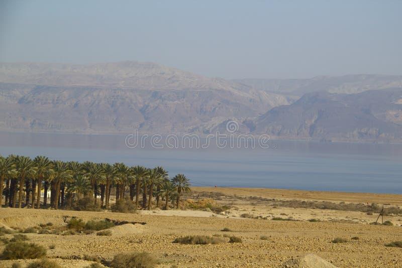 Aanplanting van de dadelpalmen dichtbij het Dode overzees, Isr stock foto's