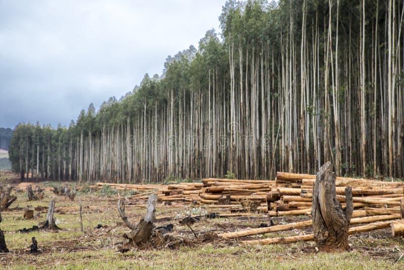 Aanplanting van eucalyptusbomen stock foto