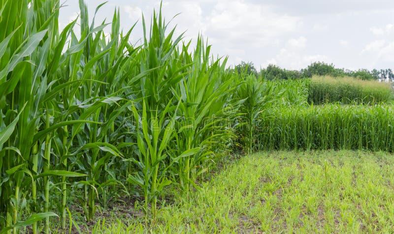 Aanplanting van het graan en de sorghum royalty-vrije stock afbeeldingen